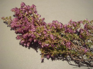 Erica williamsiorum