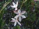 Hesperantha pilosa