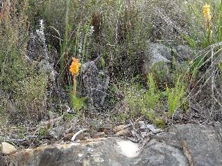 Satyrium coriifolium