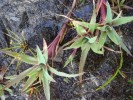 Juncus lomatophyllus