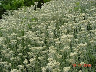 Helichrysum crispum