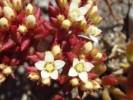 Crassula expansa subsp. filicaulis