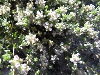 Aspalathus argyrella