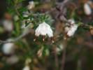 Erica genistifolia