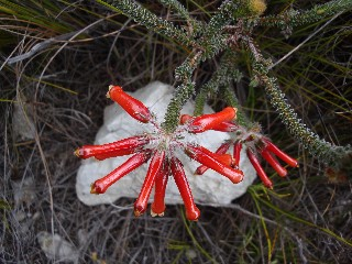 Erica massonii var. minor