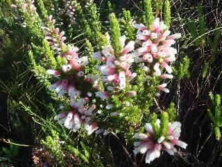 Erica macowanii subsp. lanceolata