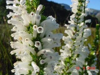 Erica perspicua subsp. latifolia