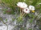 Syncarpha zeyheri