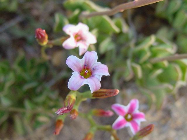 Adromischus caryophyllaceus