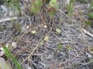 Annesorhiza nuda