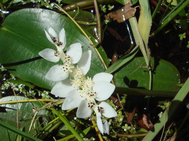 Aponogeton distachyos