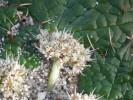 Arctopus echinatus