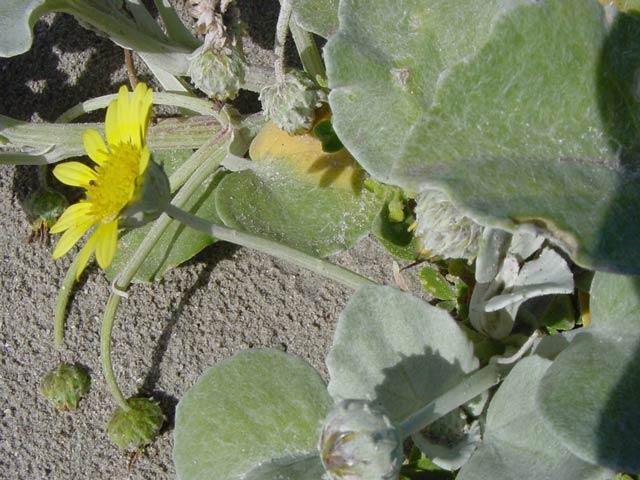 Arctotheca populifolia