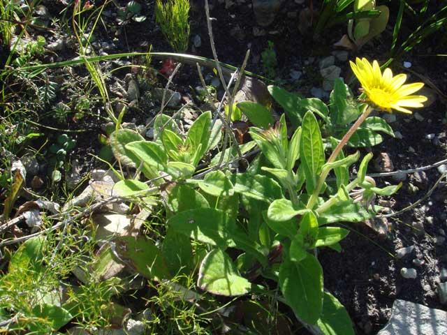 Arctotis semipapposa