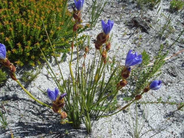 Aristea juncifolia