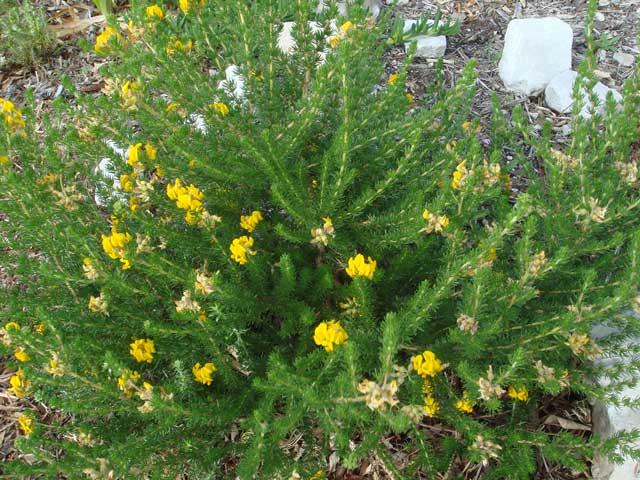 Aspalathus capensis