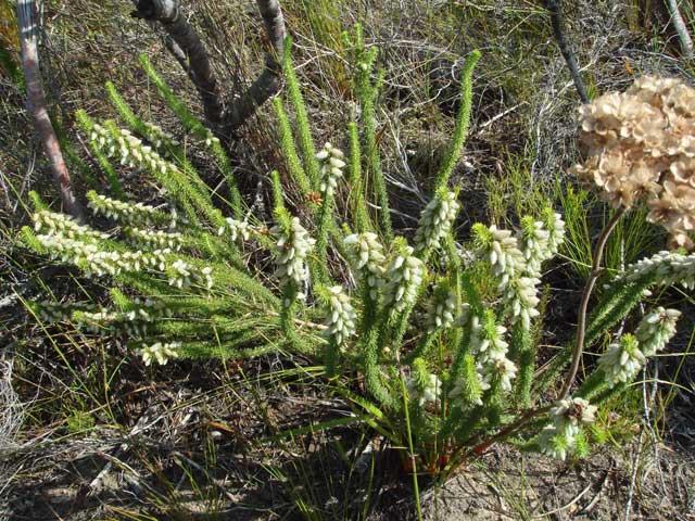 Aspalathus laricifolia subsp. laricifolia