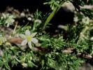 Asparagus capensis