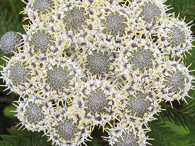 Berzelia albiflora