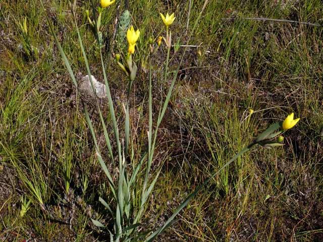 Bobartia gladiata subsp. gladiata