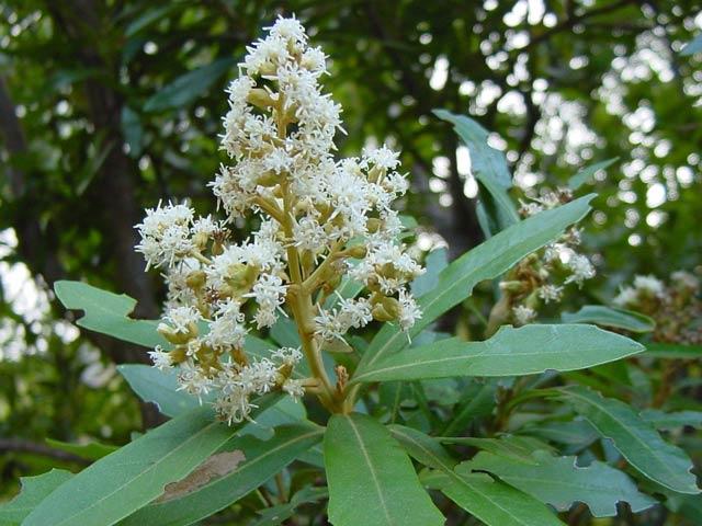 Brachylaena neriifolia