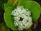 Cassine peragua subsp. peragua