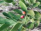 Cassine schinoides