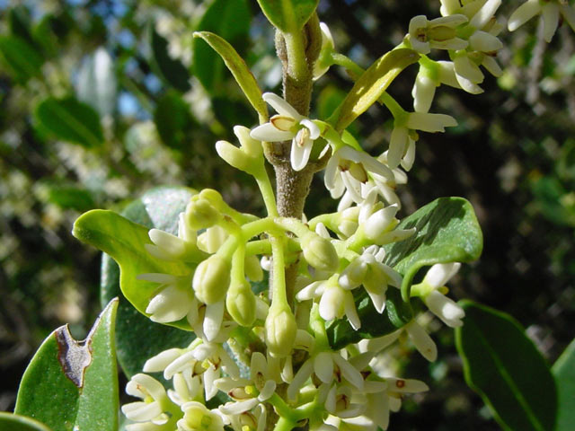 Chionanthus foveolatus subsp. foveolatus
