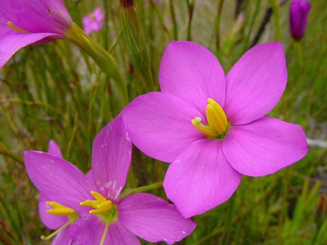 Chironia jasminoides
