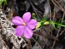 Chironia melampyrifolia