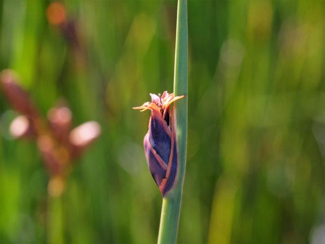 Chrysitrix capensis var. capensis