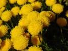 Chrysocoma coma-aurea