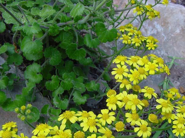Cineraria geifolia