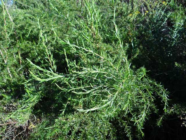 Cliffortia strobilifera