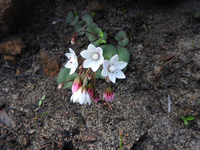 Crassula capensis var. capensis