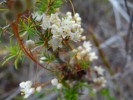 Cuscuta angulata