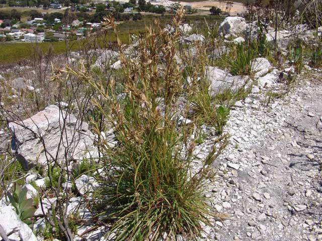 Cymbopogon marginatus