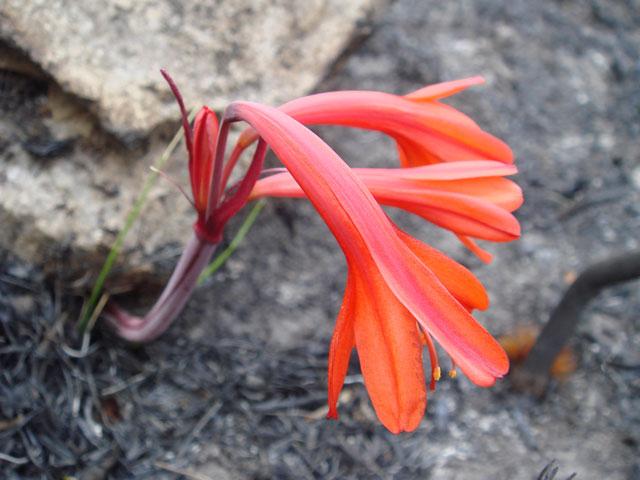 Cyrtanthus ventricosus