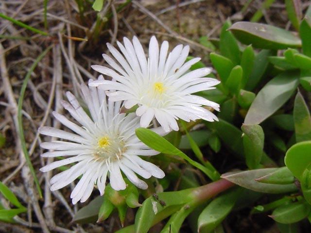 Delosperma guthriei