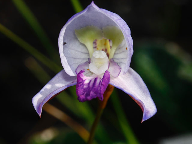 Disa purpurascens