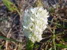 Dischisma ciliatum subsp. ciliatum