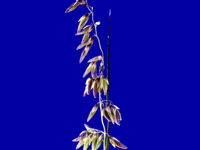 Ehrharta capensis