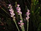 Erica articularis var. articularis