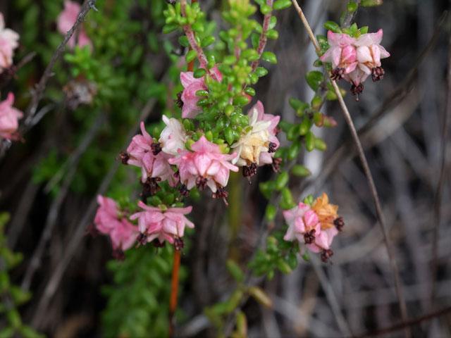 Erica azaleifolia