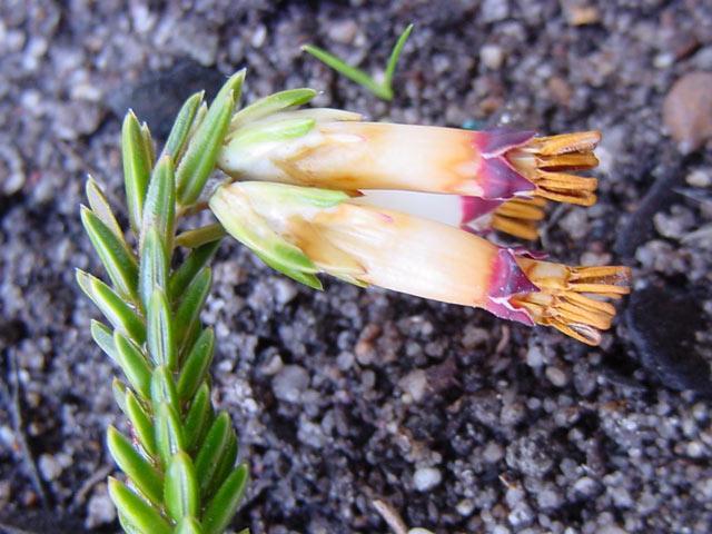 Erica banksii subsp. purpurea
