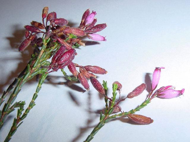 Erica cristata