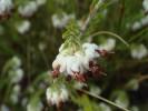 Erica cumuliflora