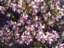 Erica equisetifolia