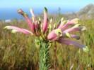 Erica fascicularis var. fascicularis