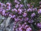 Erica globiceps subsp. consors